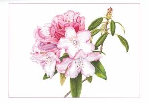 Original rhododendron